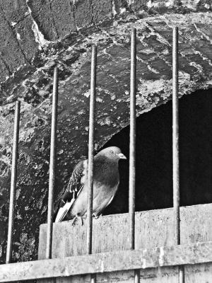 Pigeon, Canonbury station