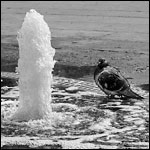 Pigeons in Puddles No. 5