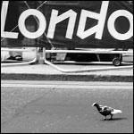 Olympic Pigeon