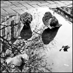 Pigeons in Puddles No. 8